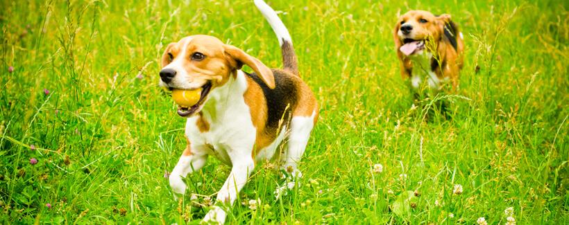 Regular Vaccination Safeguards Canine Health