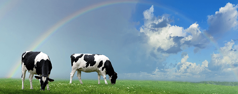 Cow Trivia