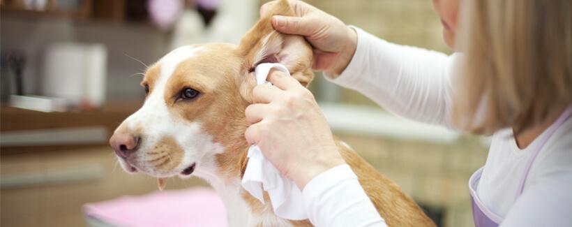 My dog has an ear infection: How do I clean my dog's ears?