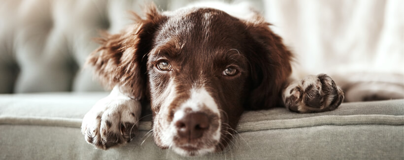 Learn All About Addison's Disease in Dogs