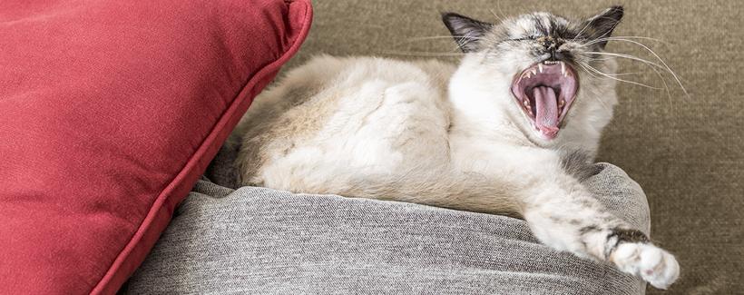 Haemobartonellosis in Cats