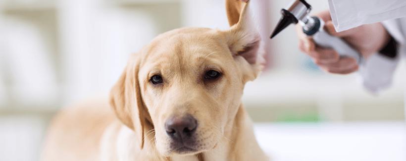 Pet Hearing Precautions